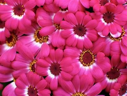 Pink Flowers Flower Bloom Wallpoper January Wallpapersafari