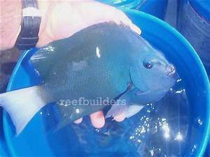 40 clipperton angelfish seized by USFWS News Reef Builders ...
