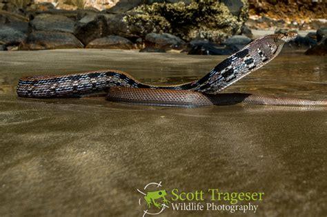 Black Rat Copperhead Snake