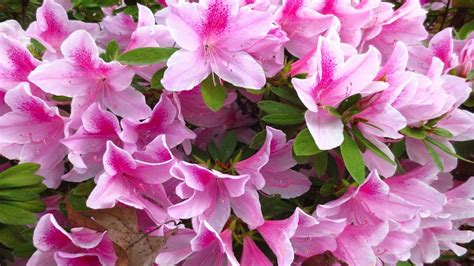 flowers to plant in april spring flowers to plant in april wallpapers13 com