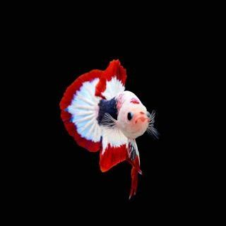 ikan cupang hias ikan cupang aduan ikan cupang alam blog