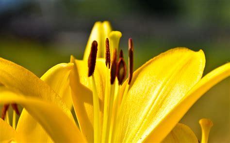 yellow lily flowers - HD Desktop Wallpapers | 4k HD