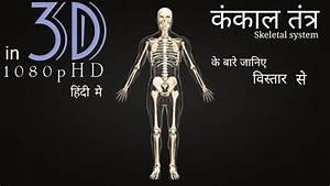Human Skeletal System In 3d