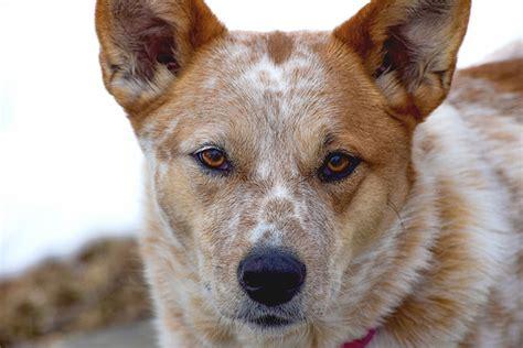 top  strangest hybrid dog breeds   knew existed