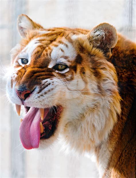 All Sizes Flehmen Golden Tiger Flickr Photo Sharing