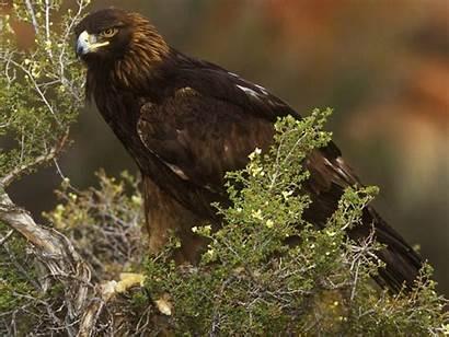 Eagle Golden North America Solitary Bird Wildlife