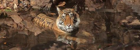 Tiger Conservationist Photography Tigers The