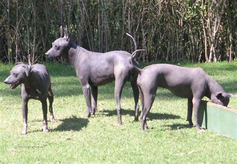 Mexican Hairless  Ee  Dog Ee