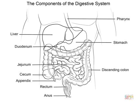 Human Digestive System Coloring Page Free Printable