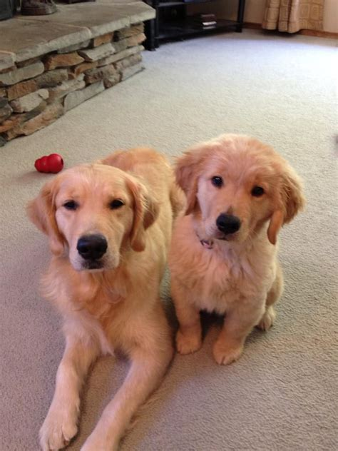 27 Best Golden Retriever Newborn And Newborn Babies Images