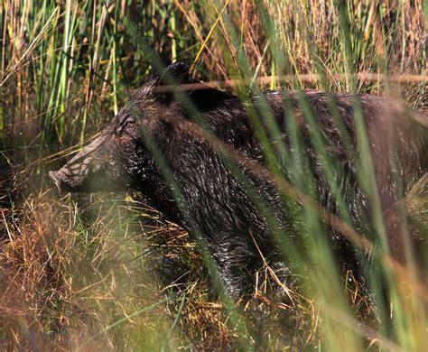 late winter  texas hunters  shot  feral hogs