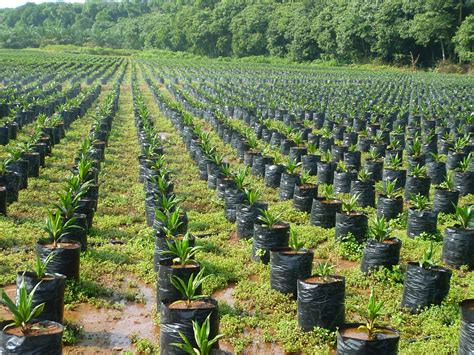 How To Start Nursery Plant Business by How To Start Oil Palm Plantation In Nigeria Oil Palm