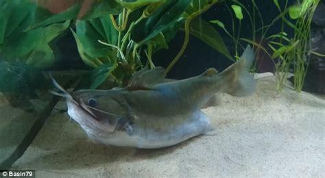 wafer thin mint incredible moment gulper catfish