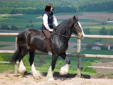 caballo de shire domado imagenes  fotos