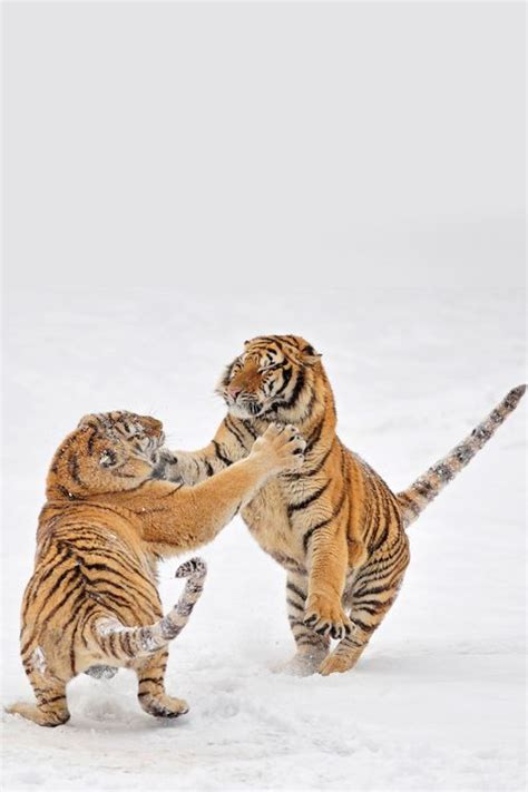 Best Images About Tigers Pinterest Golden Tiger