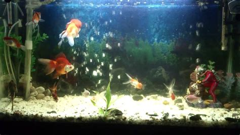 aquarium poisson a eau froide hd alg 233 rie sig brahmi zakaria