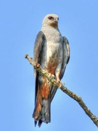 mississippi kite identification all about birds