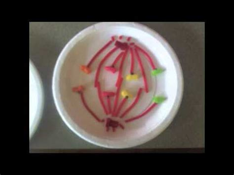 mitosis  meiosis   candy store youtube