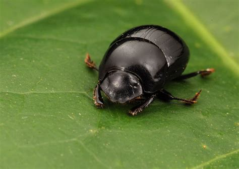 Dung Beetle Wallpapers Backgrounds