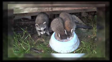 baby raccoon drinking milk immersing  head   bowl