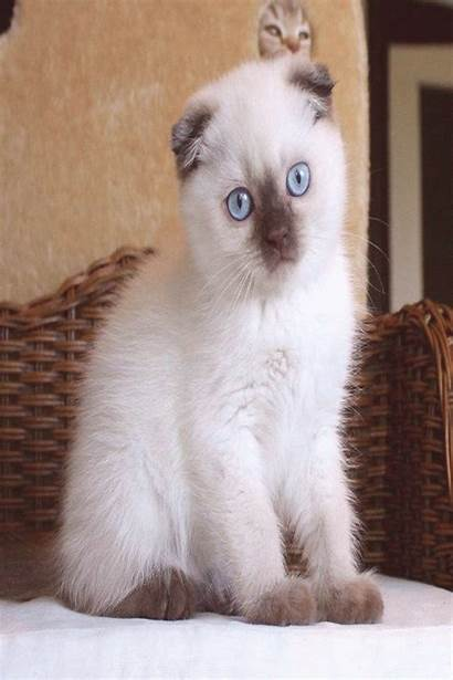Scottish Fold Siamese Warrior Cats Kediler Kittens