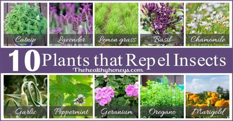 what of plants repel mosquitoes top 10 plants that repel unwanted insects the healthy honeys