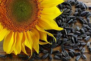 Drying Sunflower Seeds  From Harvest To Storage