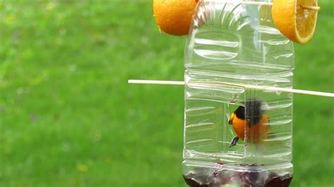 Oriole Feeder Grape Jelly by Baltimore Oriole On Feeder Grape Jelly