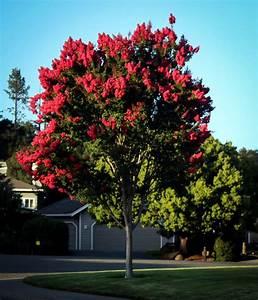 Arapaho Crape Myrtle For Sale The Tree Center