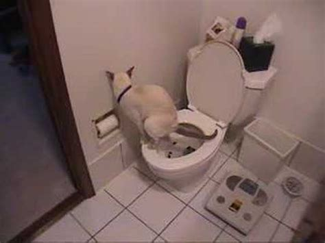 cat using toilet toilet paper