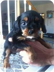 little t | Adopted Puppy | Lonedell, MO | Cavalier King ...