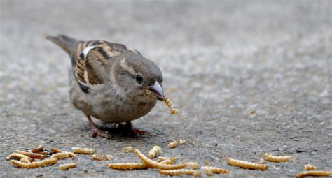 rambles with a camera mealworms