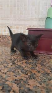 baby cats for adoption dubizzle dubai cats baby kittens for free adoption