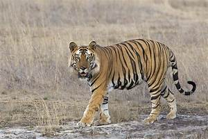 Bengal Tiger Male Bandhavgarh National Photograph by Suzi