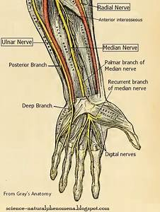 Science  Natural Phenomena  U0026 Medicine  Nerve Supply To Hand