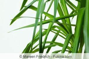 Kletterrosen Richtig Pflanzen : yucca palme schneiden wie kann man die palmlilie k rzen ~ Markanthonyermac.com Haus und Dekorationen