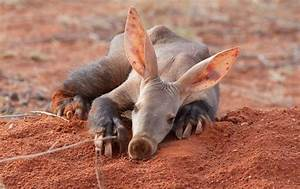 Aardvarks (Africa) have wide, spoon-like claws on all four ...
