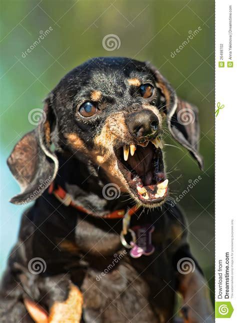 angry dachshund stock photography image