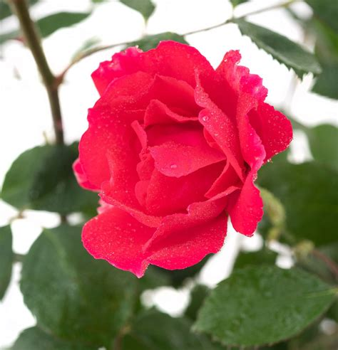 kletterrose paul scarlet kletterrose pauls scarlet climber rosa pauls scarlet climber g 252 nstig kaufen