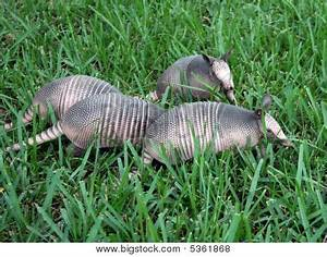 4 Baby Armadillos In Grass Stock Photo & Stock Images ...