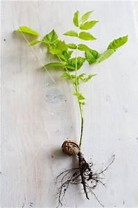 Olivenbaum Stecklinge Kaufen : keimende walnuss mit pflanze bild kaufen 11277677 ~ Michelbontemps.com Haus und Dekorationen