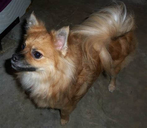 paperanian papillon pomeranian mix puppies info care