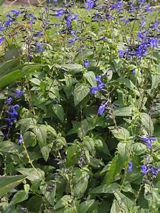 salvia guaranitica 39 black and blue 39 high plains gardening