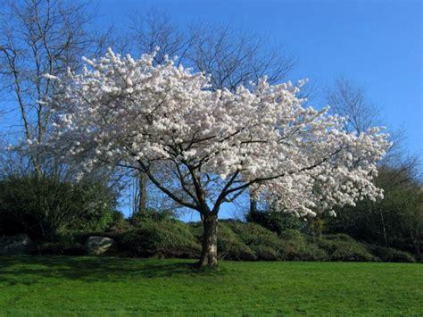 white flowering trees white flowering trees www pixshark com images