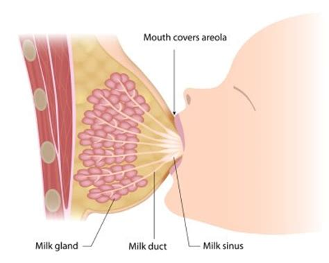 Milk Ducts In Breast Images How To Increase Breast Milk Babypedia