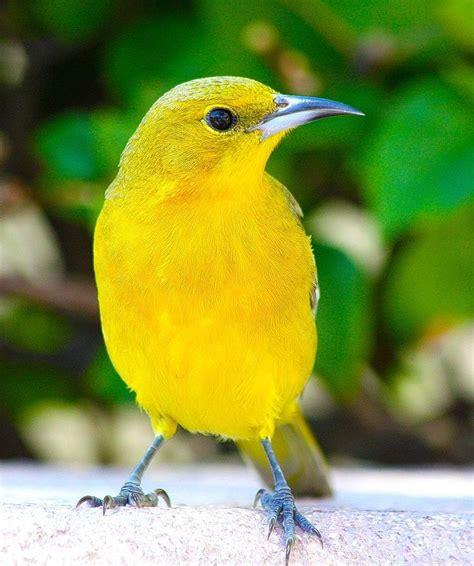 1000 ideas about yellow birds on pinterest beautiful