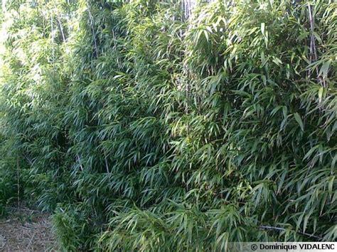 cuisiner les pousses de bambou bambou carré chimonobambusa quadrangularis conseils de