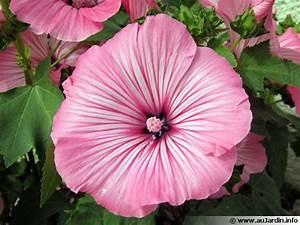 Bulbes D été : fleurs annuelles et bulbes d 39 t ~ Melissatoandfro.com Idées de Décoration