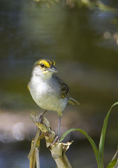 yellow crowned sparrow jpg photo robert scanlon photos
