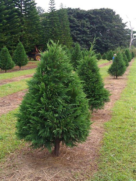 Leyland Cypress Christmas Trees Louisiana by 28 Leyland Cypress Christmas Tree Growers Related